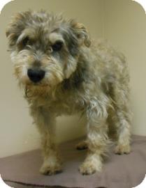 Schnauzer (Miniature) Mix Dog for adoption in Gary, Indiana - Samuel
