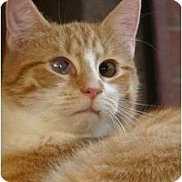 Domestic Shorthair Cat for adoption in Winston-Salem, North Carolina - John Deere