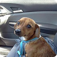 Adopt A Pet :: Howard - Los Angeles, CA