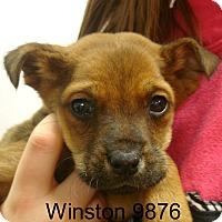 Adopt A Pet :: Winston - Greencastle, NC