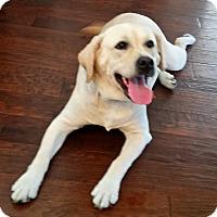 Adopt A Pet :: Bella - Coppell, TX