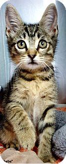 Domestic Shorthair Kitten for adoption in Key Largo, Florida - Sheba