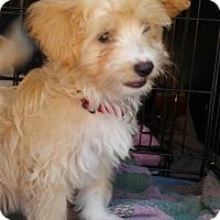 Adopt A Pet :: Bradie-ADOPTION PENDING - Bridgeton, MO