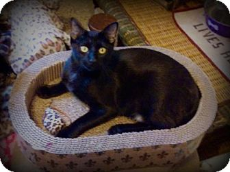 Domestic Longhair Cat for adoption in St. Louis, Missouri - Winston