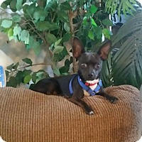 Chihuahua Dog for adoption in Brentwood, California - Buster