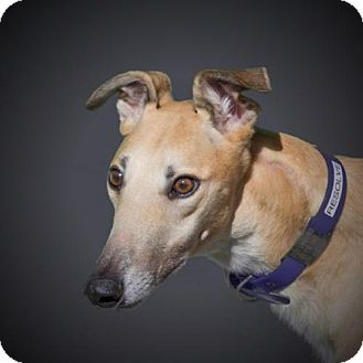 Greyhound Dog for adoption in Woodinville, Washington - Resolve