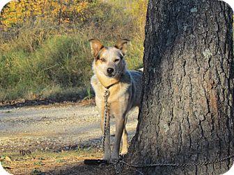 Australian Cattle Dog Dog for adoption in Hartford, Connecticut - CALLIE
