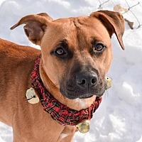 Rhodesian Ridgeback Mix Puppy for adoption in Meridian, Idaho - Gracie