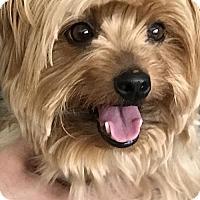 Adopt A Pet :: Saydee - Sinking Spring, PA