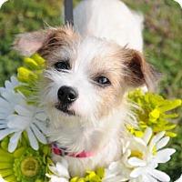 Terrier (Unknown Type, Medium) Mix Dog for adoption in McKinney, Texas - Annabelle