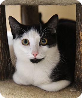 Domestic Shorthair Kitten for adoption in Medford, Massachusetts - Artemis