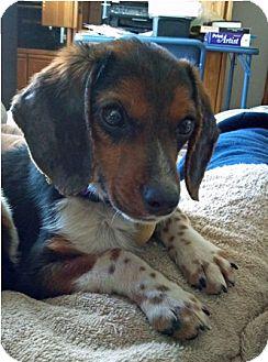 Beagle Puppy for adoption in Waldorf, Maryland - Lonnie Amelia