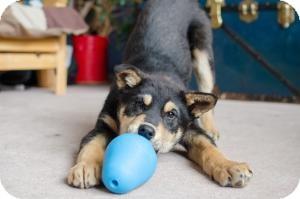Shepherd (Unknown Type)/Australian Shepherd Mix Puppy for adoption in Saskatoon, Saskatchewan - Bruce