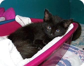 Domestic Shorthair Kitten for adoption in Dover, Ohio - Gigi
