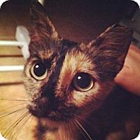 Adopt A Pet :: Tortuga - Deerfield Beach, FL