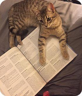 American Shorthair Kitten for adoption in Jacksonville, Florida - Lottie