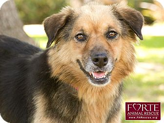 Australian Shepherd/German Shepherd Dog Mix Dog for adoption in Marina del Rey, California - Loni