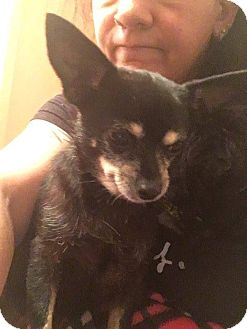 Chihuahua Mix Dog for adoption in Valley Stream, New York - Angel