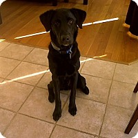 Labrador Retriever Dog for adoption in Towson, Maryland - Harvey #2 & Floyd