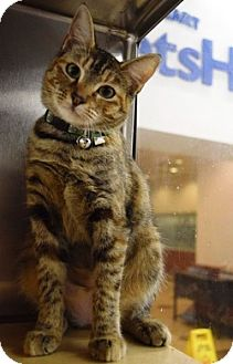 Domestic Shorthair Cat for adoption in Houston, Texas - Honey