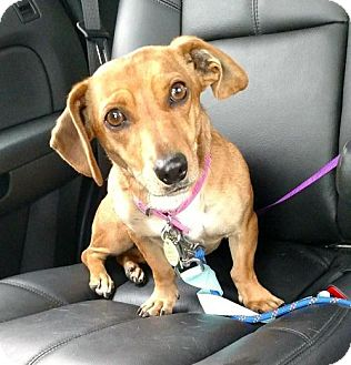 Dachshund/Chihuahua Mix Dog for adoption in Orangeburg, South Carolina - Hannah2