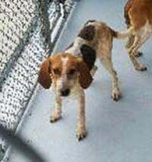 Beagle/Hound (Unknown Type) Mix Dog for adoption in Chantilly, Virginia - Lyric