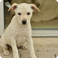 Adopt A Pet :: Joey - San Antonio, TX
