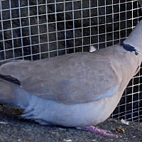 Dove for adoption in Elizabeth, Colorado - Charles