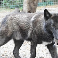 Adopt A Pet :: Wolfdogs - Gemini and Kalani - Orlando, FL