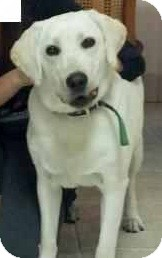 Labrador Retriever Dog for adoption in Long Beach, California - Stella