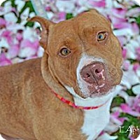 Adopt A Pet :: Cupid - Reisterstown, MD