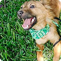Adopt A Pet :: Champ - Houston, TX