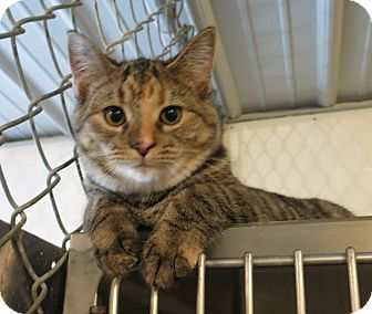 Domestic Shorthair Cat for adoption in Geneseo, Illinois - Stacy