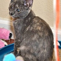 Domestic Shorthair Kitten for adoption in Davis, California - Pollyanna
