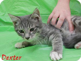 Domestic Mediumhair Kitten for adoption in Bucyrus, Ohio - Dexter