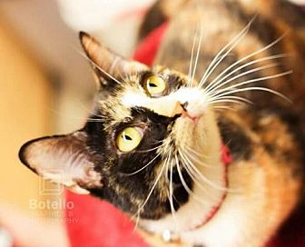 Calico Cat for adoption in Spring, Texas - Lexi