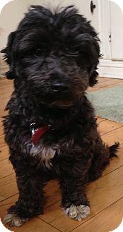 Poodle (Miniature) Dog for adoption in Thousand Oaks, California - Sugar