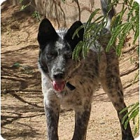 Adopt A Pet :: Tank - Phoenix, AZ