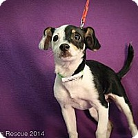 Adopt A Pet :: Ice Dancer - Broomfield, CO