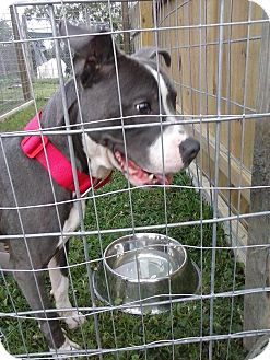 American Pit Bull Terrier Mix Dog for adoption in North, Virginia - Vance