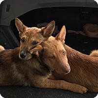 Adopt A Pet :: Shepherd Girls - Long Beach, CA
