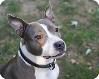 Pit Bull Terrier Mix Dog for adoption in Amherst, Ohio - GRETA
