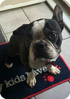Boston Terrier Mix Dog for adoption in Northville, Michigan - Oscar