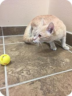 Domestic Shorthair Kitten for adoption in Cumming, Georgia - Babycakes