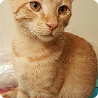 Domestic Shorthair Kitten for adoption in Waldorf, Maryland - Critter