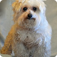 Adopt A Pet :: Stevie Ray - Hagerstown, MD