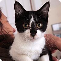 Adopt A Pet :: Albedo - St. Louis, MO