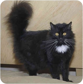 Domestic Longhair Cat for adoption in Bartlett, Tennessee - Blue Star