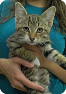 Domestic Shorthair Kitten for adoption in Troy, Ohio - Tequilla
