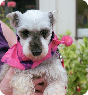Miniature Schnauzer Dog for adoption in Sharonville, Ohio - Dana
